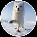 Arcticfoxcoming