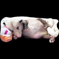 Opossum-Sesame
