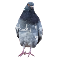 Pigeons with hands