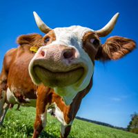 wow_cow
